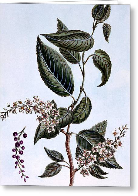 Medicinal Plant Greeting Cards - Prunus padus or Bird Cherry Greeting Card by Pierre Joseph Buchoz