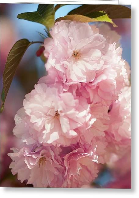 Prunus Serrulata 'kanzan' Greeting Card by Maria Mosolova