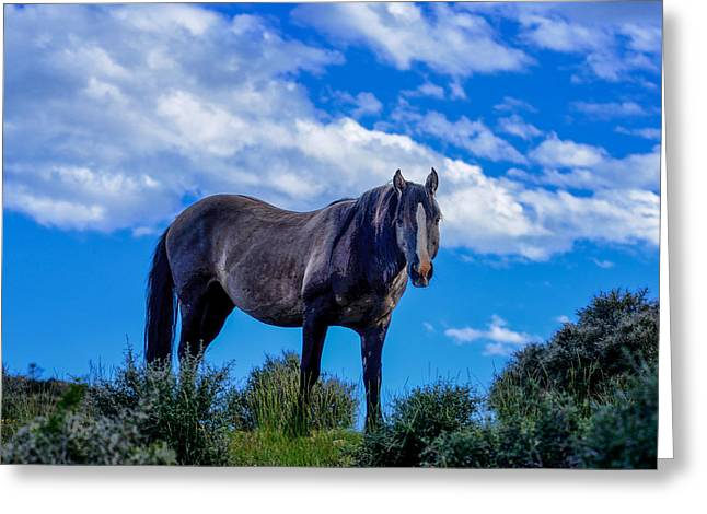 Pryor Greeting Cards - Pryor Mountain Wild Horse Greeting Card by Greg Norrell
