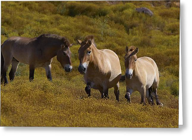 Equus Ferus Greeting Cards - Przewalskis Horse Trio In Grassland Greeting Card by San Diego Zoo