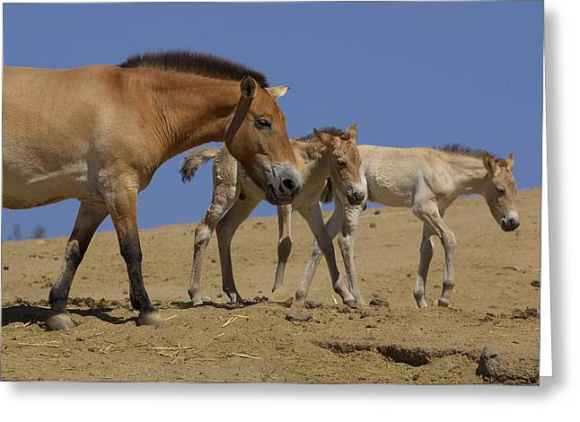 Equus Ferus Greeting Cards - Przewalskis Horse With Two Foals Greeting Card by San Diego Zoo