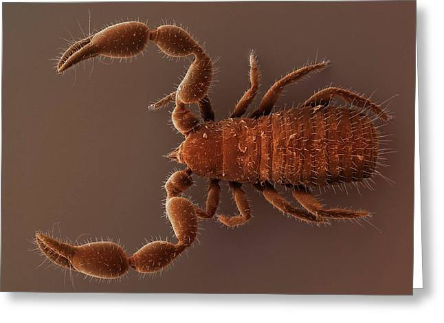 Pseudoscorpion (sem) Greeting Card by Power And Syred