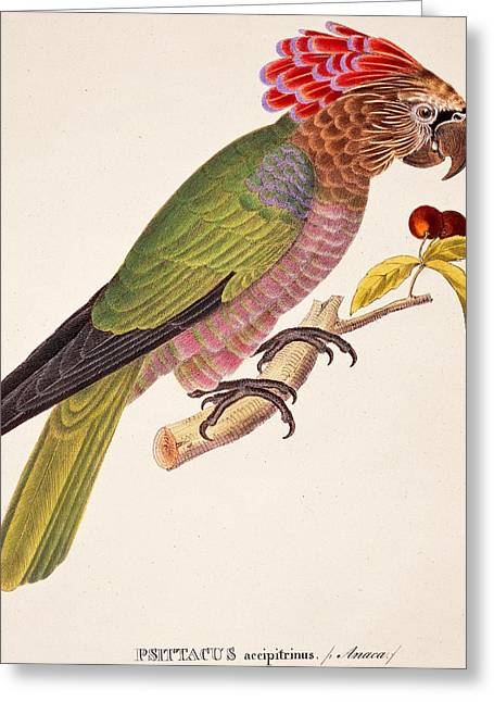 Psittacus Accipitrinus Greeting Card by German School