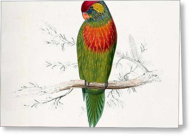 Edward Lear Greeting Cards - Psitteuteles Versicolor Greeting Card by Edward Lear