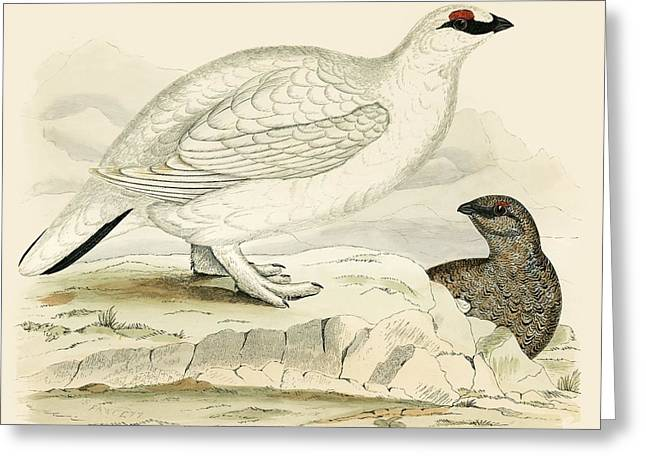 Hunting Bird Photographs Greeting Cards - Ptarmigan Greeting Card by Beverley R. Morris