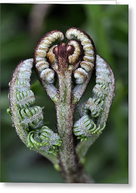 Biological Greeting Cards - Pteridium aquilinum fronds unfurling Greeting Card by Science Photo Library