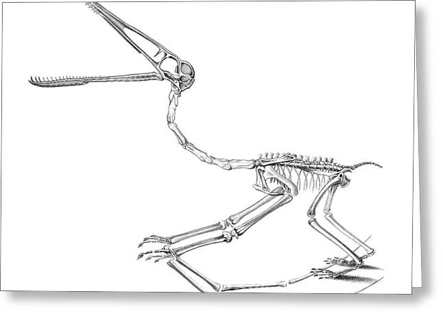 Bone Structure Greeting Cards - Pterodactylus Skeleton Greeting Card by Benoit Beauregard
