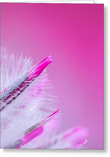 Close Up Floral Greeting Cards - Ptilotus Macro Greeting Card by Wim Lanclus