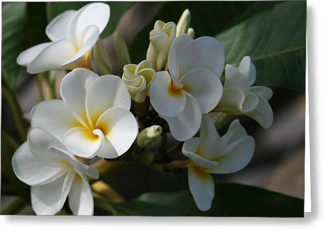 Tropical Flowers Of Hawaii Greeting Cards - Pua Melia Na Puakea Onaona Tropical Plumeria Greeting Card by Sharon Mau
