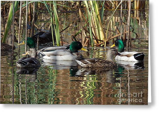 Kinds Of Birds Greeting Cards - Puddle Ducks Greeting Card by Skip Willits