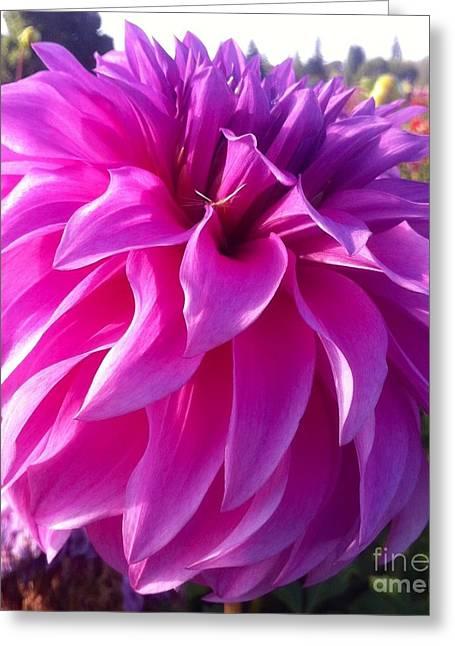 Puff Of Pink Dahlia Greeting Card by Susan Garren
