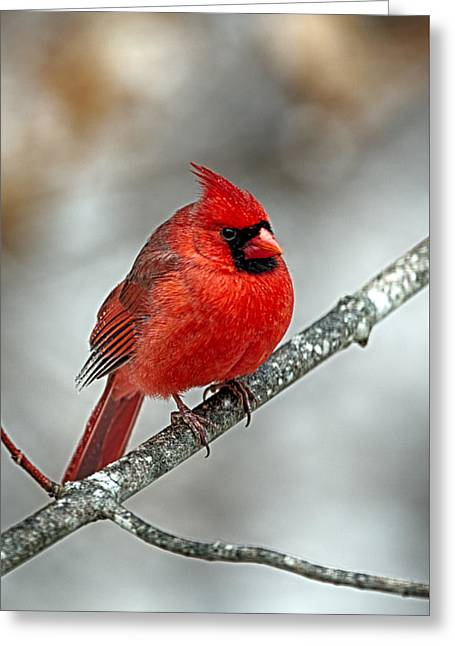 Nature Center Greeting Cards - Puff the Cardinal Greeting Card by John Haldane