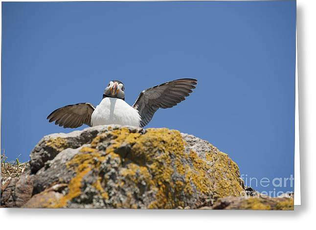 Stretching Wings Greeting Cards - Puffed Up Puffin Greeting Card by Anne Gilbert
