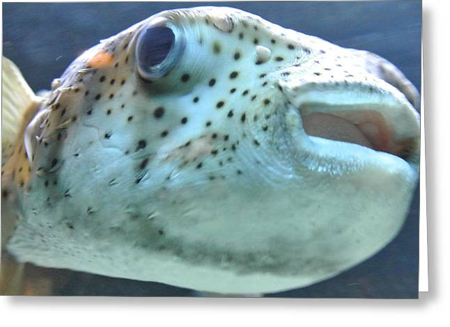 Puffer Greeting Cards - Puffer Fish Greeting Card by Amber Davenport