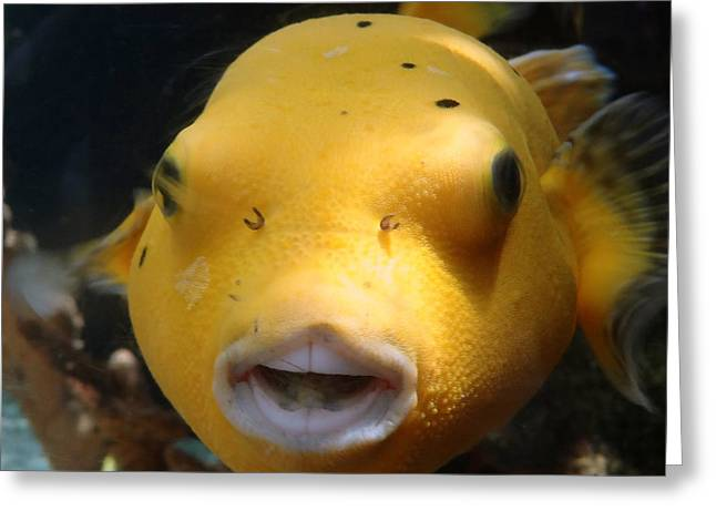 Puffer Poses Greeting Card by Refresh  Photography