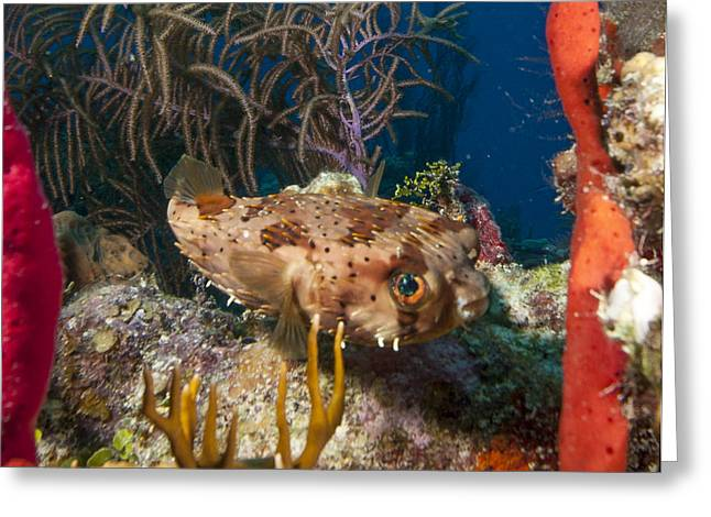 Balloonfish Greeting Cards - Puffer Retreat Greeting Card by Jean Noren