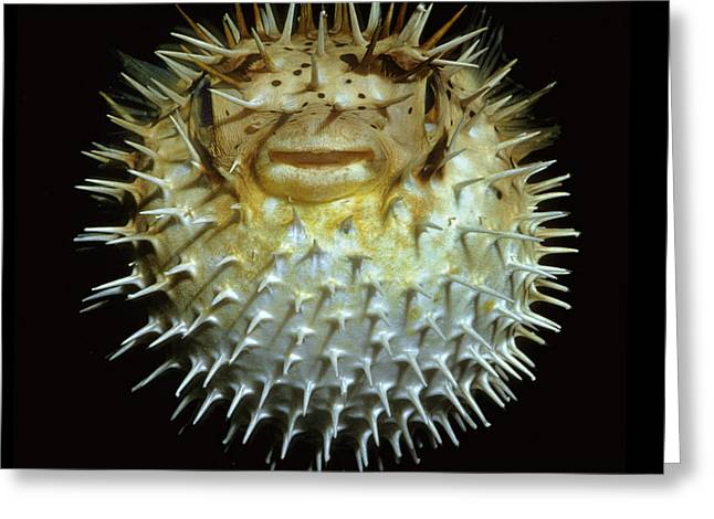 Porcupine Puffer Greeting Cards - Pufferfish Greeting Card by Scott Frier