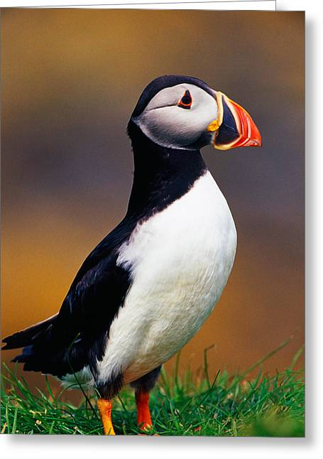 Puffin Bird In Grass, Selective Focus Greeting Card by Panoramic Images