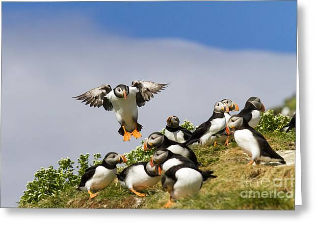 Aquatic Bird Greeting Cards - Puffin Colony on Bird Island Hornoya Greeting Card by Heiko Koehrer-Wagner