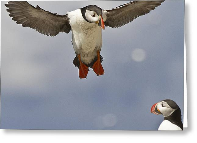 Aquatic Bird Greeting Cards - Puffin Coming Home Greeting Card by Heiko Koehrer-Wagner