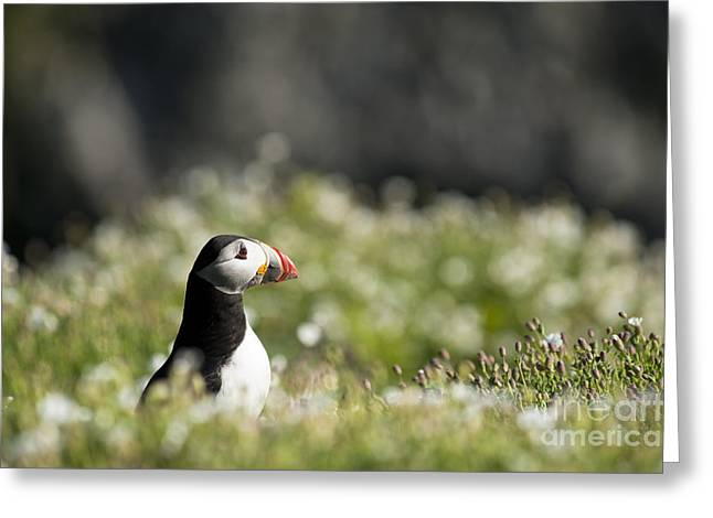 Atlantic Puffin Greeting Cards - Puffin in Sea Campion Greeting Card by Anne Gilbert