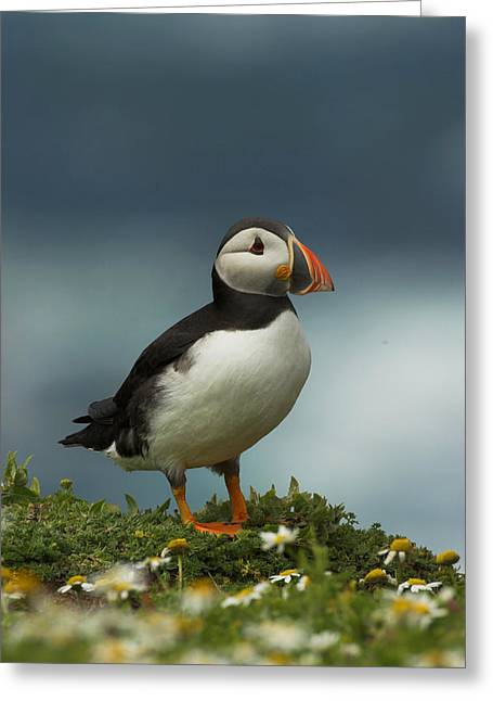 Scoullar Greeting Cards - Puffin Greeting Card by Paul Scoullar