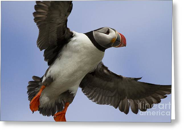 Aquatic Bird Greeting Cards - Puffin Ready For Landing Greeting Card by Heiko Koehrer-Wagner