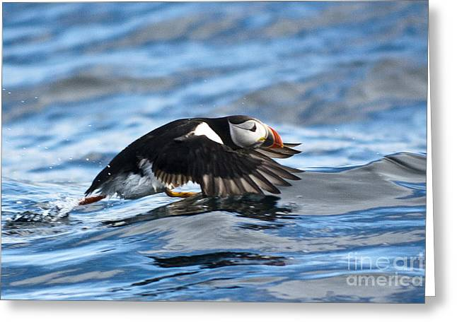 Puffin Starting To Fly Greeting Card by Heiko Koehrer-Wagner