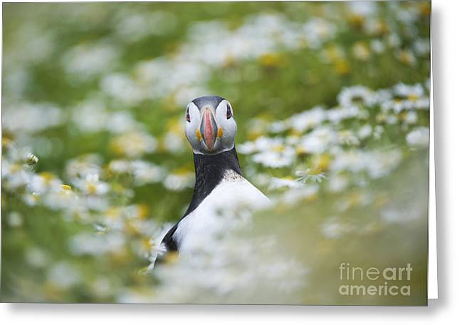 Aquatic Bird Greeting Cards - Puffin Greeting Card by Tim Gainey