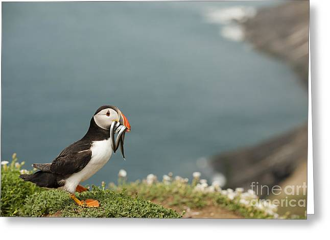 Seabirds Greeting Cards - Puffin with Sandeels Greeting Card by Anne Gilbert
