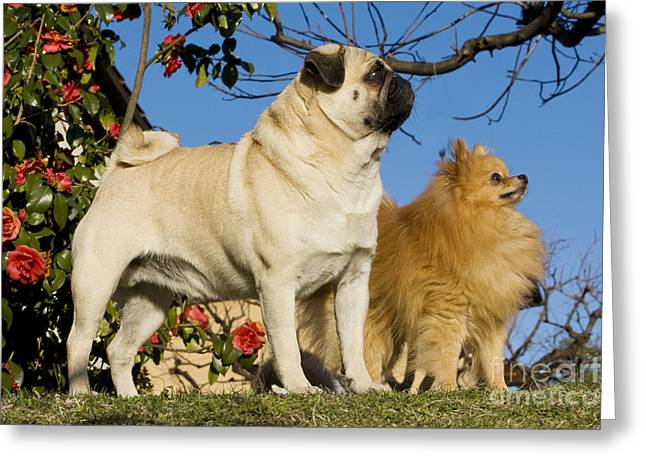 Toy Dog Greeting Cards - Pug And Pomeranian Greeting Card by Jean-Michel Labat