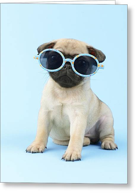 Puppies Greeting Cards - Pug Cool Greeting Card by Greg Cuddiford