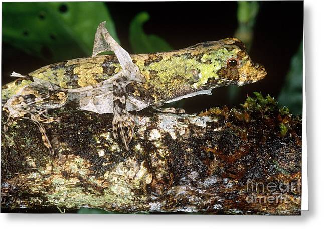 Shed Greeting Cards - Pug-nosed Anole Greeting Card by Gregory G. Dimijian, M.D.