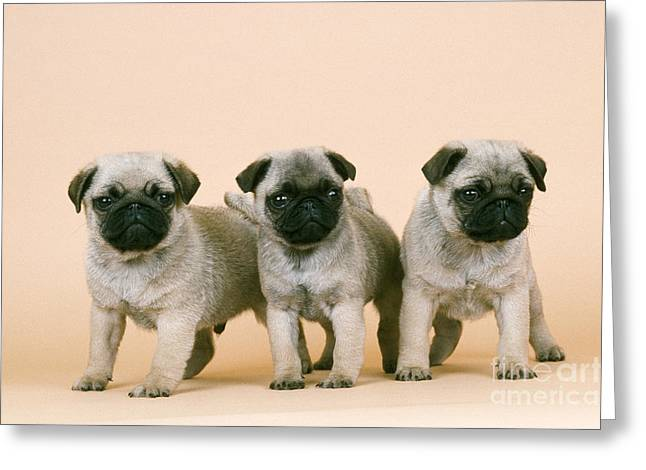 Toy Dog Greeting Cards - Pug Puppies Greeting Card by John Daniels