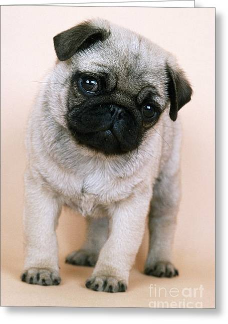 Breeds Greeting Cards - Pug Puppy Dog Greeting Card by John Daniels