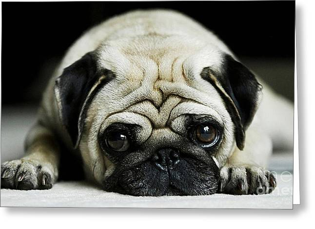 Dog Greeting Cards - Pug Puppy  Greeting Card by Marvin Blaine