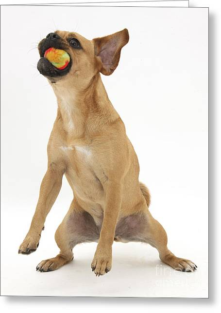 Dog Playing Ball Greeting Cards - Puggle Catching A Ball Greeting Card by Mark Taylor