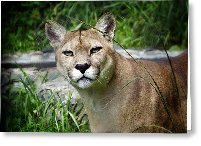 Puma Concolor Greeting Cards - Puma Concolor Greeting Card by Kurt Van Wagner