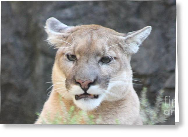Puma Head Shot Greeting Card by JOHN TELFER