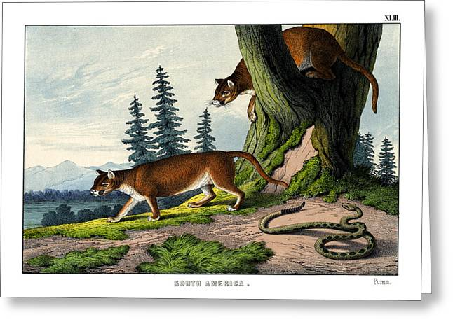 Puma Pictures Greeting Cards - Puma Greeting Card by Splendid Art Prints