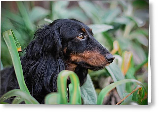 Black And Tan Dachshund Greeting Cards - Pumpkin Greeting Card by Jim Thompson
