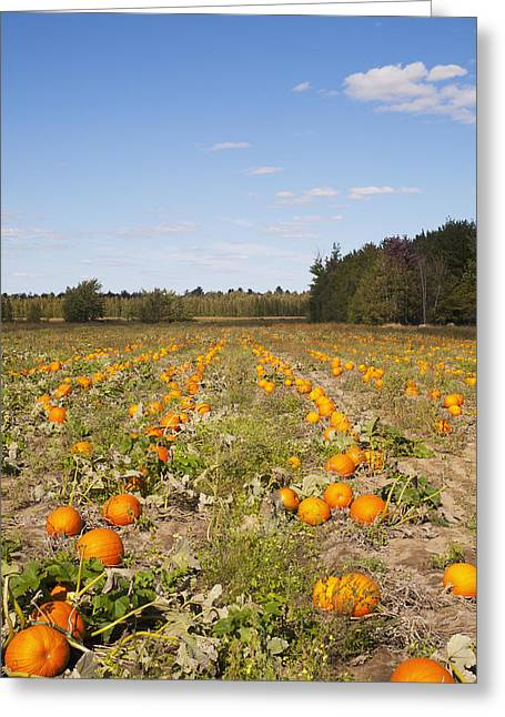 Fall Trees Greeting Cards - Pumpkins In A Fieldgranby Quebec Canada Greeting Card by David Chapman