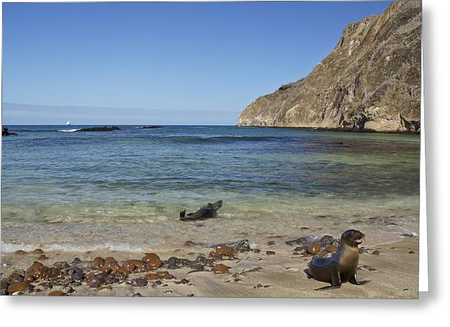 Sea Lions In The Ocean Greeting Cards - Pup and Mother Sea Lions Greeting Card by Brian Kamprath
