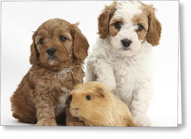 House Pet Greeting Cards - Puppies And Guinea Pig Greeting Card by Mark Taylor