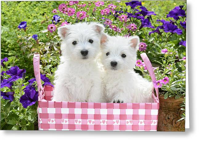 White Photographs Greeting Cards - Puppies In A Pink Basket Greeting Card by Greg Cuddiford