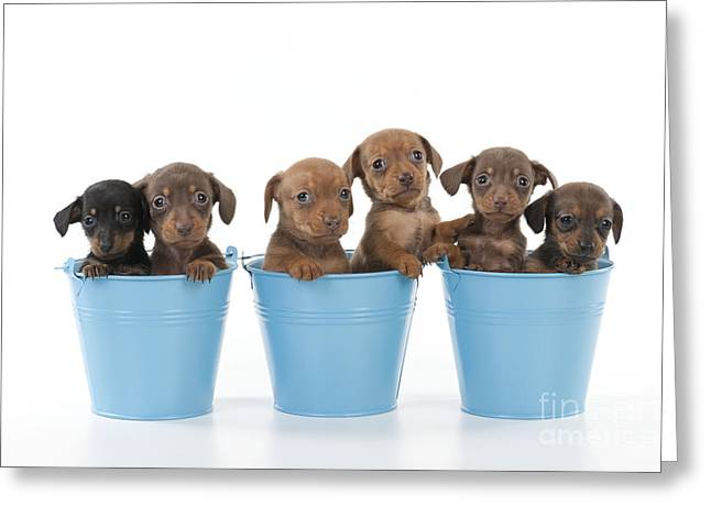 Miniature Dachshund Greeting Cards - Puppies In Buckets Greeting Card by John Daniels