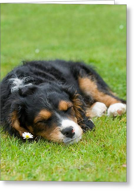 Pup Digital Art Greeting Cards - Puppy Asleep with Garden Daisy Greeting Card by Natalie Kinnear