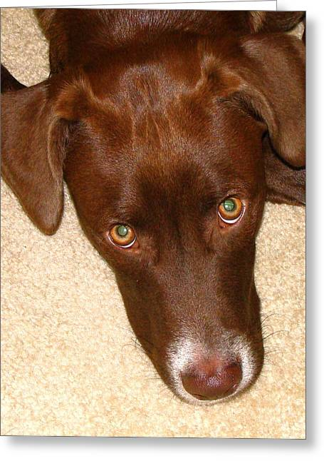 Chocolate Lab Greeting Cards - Puppy Dog Eyes Greeting Card by Rita Mueller