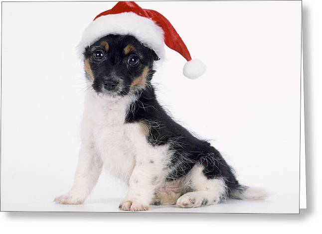 Mutt Jack Greeting Cards - Puppy Dog Wearing Christmas Hat Greeting Card by John Daniels