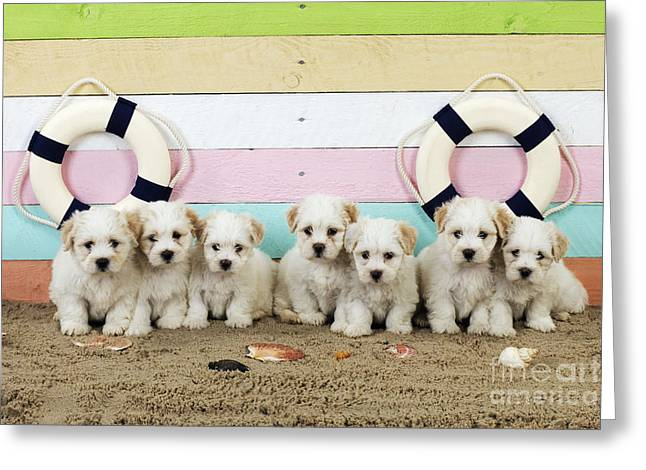 Toy Dog Greeting Cards - Puppy Dogs At The Beach Greeting Card by John Daniels